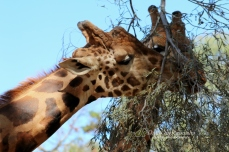 Giraffes, Altina Wildlife Safari