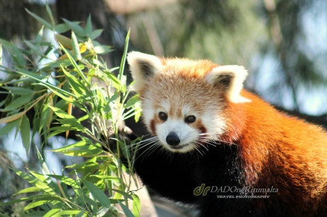 Red Panda, Altina Wildlife Safari